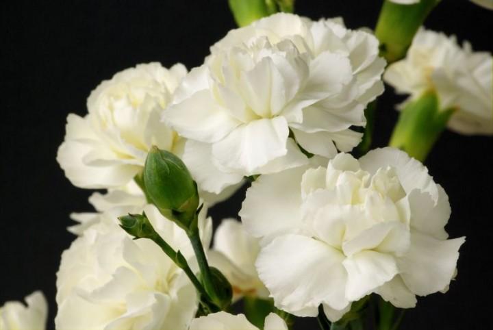 d743ccd81ffa18 Zdjęcie nr 14: Kwiaty na walentynki i ich znaczenie - galeria - Ciekawostki  - Kwiaty doniczkowe - Infor.pl